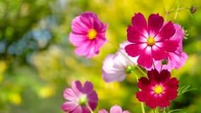 唯美花朵、格桑花、鲜花盛开01视频素材