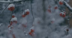 4K雪中的红柿子挂在枝头03视频素材