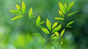 树枝绿叶(7)视频素材