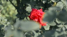 玫瑰园视频素材