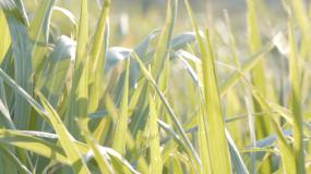 菌草芦苇蒲草A4K视频素材