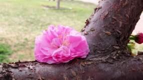 榆叶梅的老枝新花4k视频素材