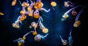 褐水母视频素材