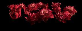 莲花群簇视频素材