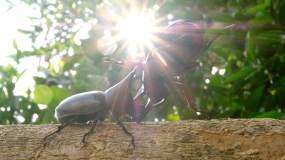 热带森林里犀牛甲虫在木头上搏斗视频素材