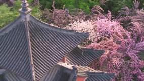 西安青龙寺樱花航拍视频素材