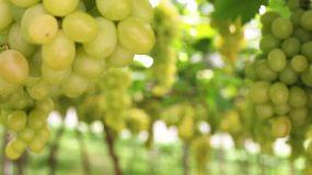 葡萄园里绿葡萄的特写镜头视频素材