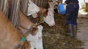 农夫用食物颗粒喂牛视频素材