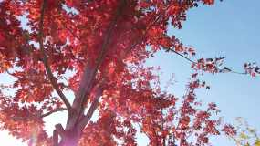 枫树 枫叶 香山 红叶 思念 蓝天 天空视频素材