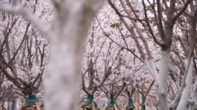 樱花树樱花飘洒视频素材