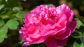 花园公园花牡丹花视频素材