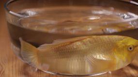 鱼缸里的锦鲤金鱼 (3)视频素材