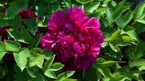 花园公园花牡丹花红牡丹视频素材