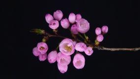 随着时间的流逝,一束鲜花盛开视频素材