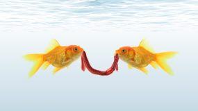 两条金鱼争一条虫子视频素材