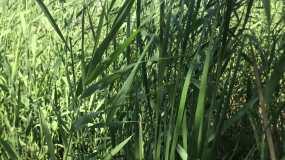 池塘 水草 芦苇 摇摆 4k 视频视频素材