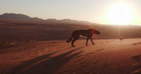 纳米布沙漠夕阳下的猎豹剪影视频素材