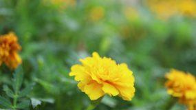 鲜花在风中摇曳特写视频素材