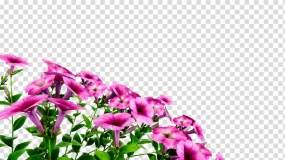随风飘扬花朵(带通道)视频素材包