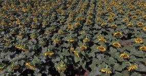 航拍向日葵农作物视频素材