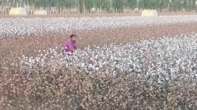 新疆哈密:棉花丰收喜收获视频素材