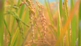 有机水稻-绿色食品无公害-食品安全视频素材